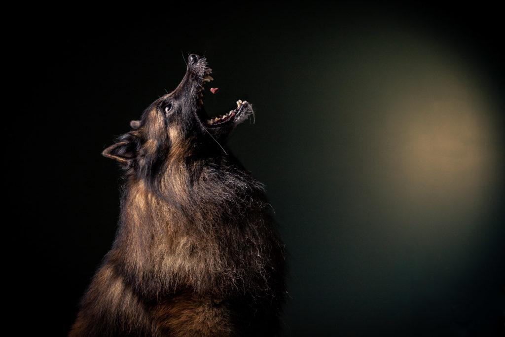 portrait-chien-carcassonne-7